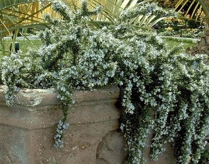 Herb-Huntington Carpet Rosemary