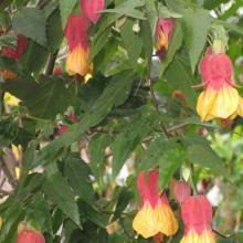 abutilon, plant, tropical, louisiana, nursery