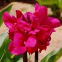canna 'crimson beauty dwarf'