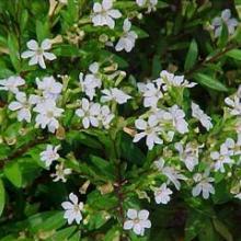 cuphea 'brazilian white'