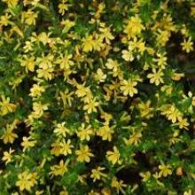 cuphea 'mellow yellow'
