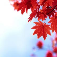 Japanese Red Maple, trees, tree, plant, louisiana, nursery, ornamental