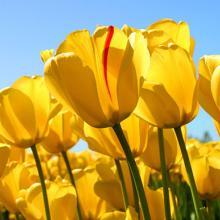 tulips, plant, bulbs, louisiana, nursery
