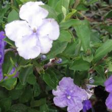 Yesterday, Today and Tomorrow, plant, shrubs, louisiana, nursery