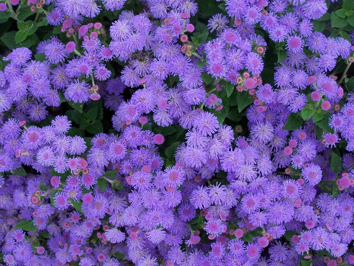 Mes Of Fuzzy Blue Flowers Adorn This Low Growing Plant Grows 6 10 Tall In Sun To Part